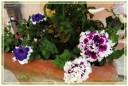 fiori00011