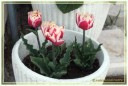 fiori00020